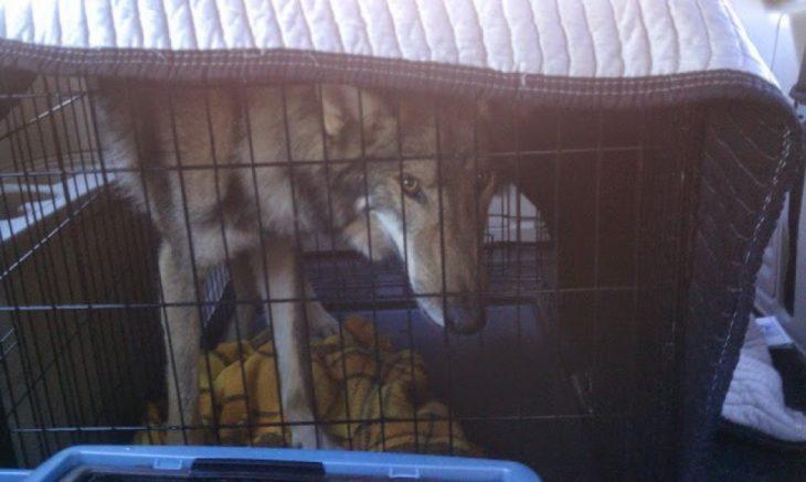 Perro lobo en jaula