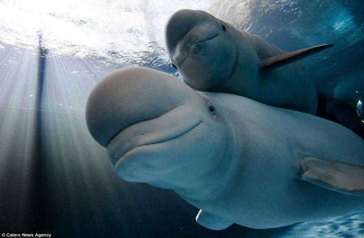 mamá ballena beluga y bebé