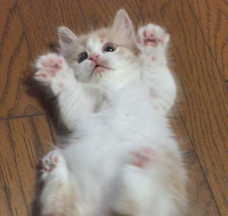 gato bebé recostado con patitas arriba