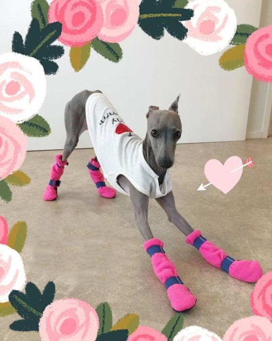 perro con camiseta y zapatos