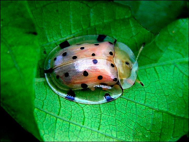 Escarabajo de cáscara de tortuga