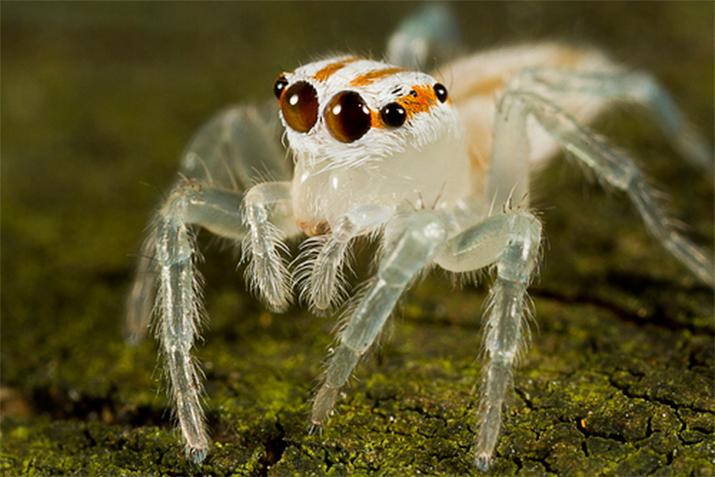 Araña saltadora transparente