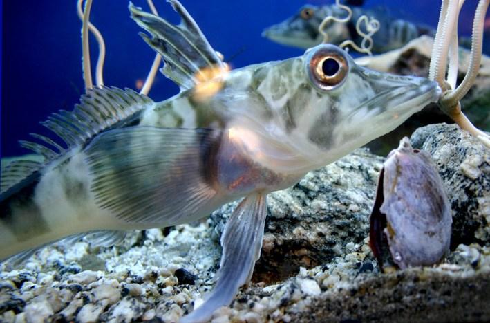 Cocodrilo Icefish