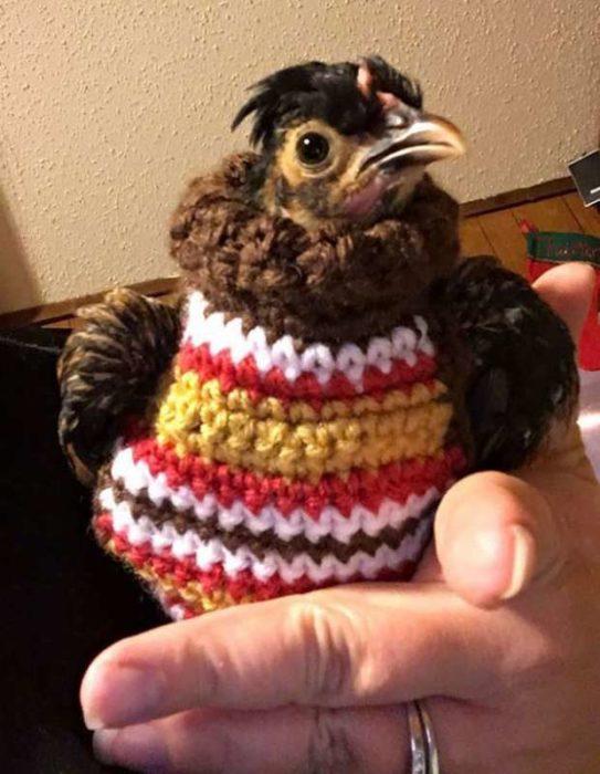 Gallina con suéter
