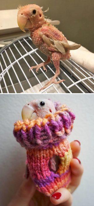 Perico sin plumas con suéter