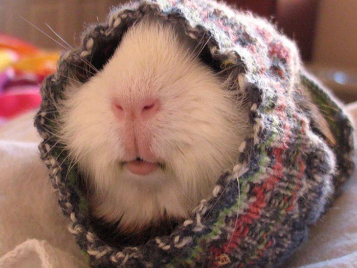 Hámster con suéter en la cara