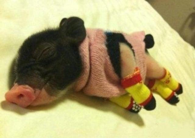 Cerdito dormido con suéter y guantes
