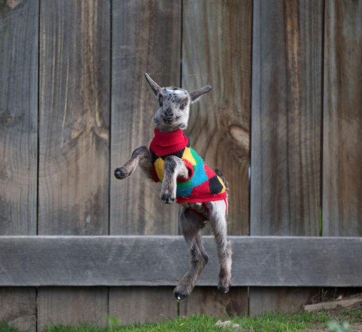 Cabra con suéter