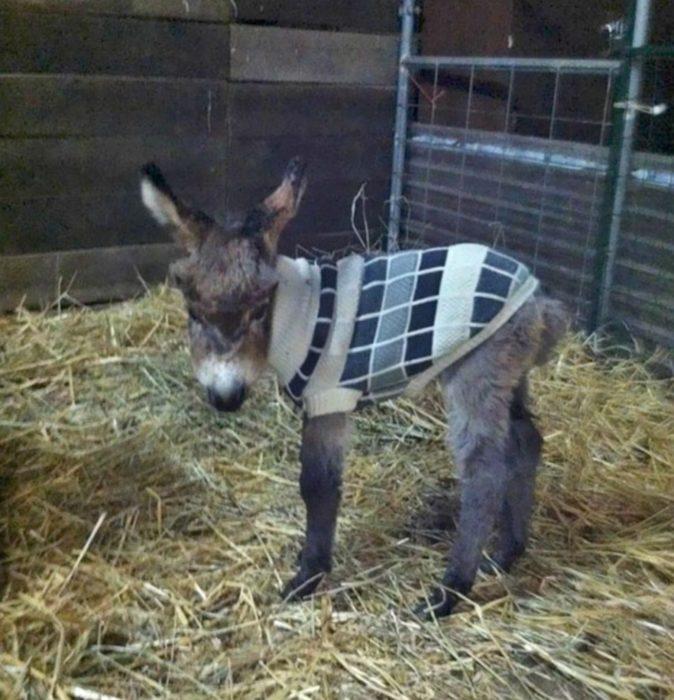 Burro con suéter