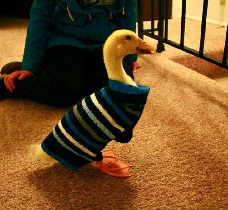 Pato con suéter