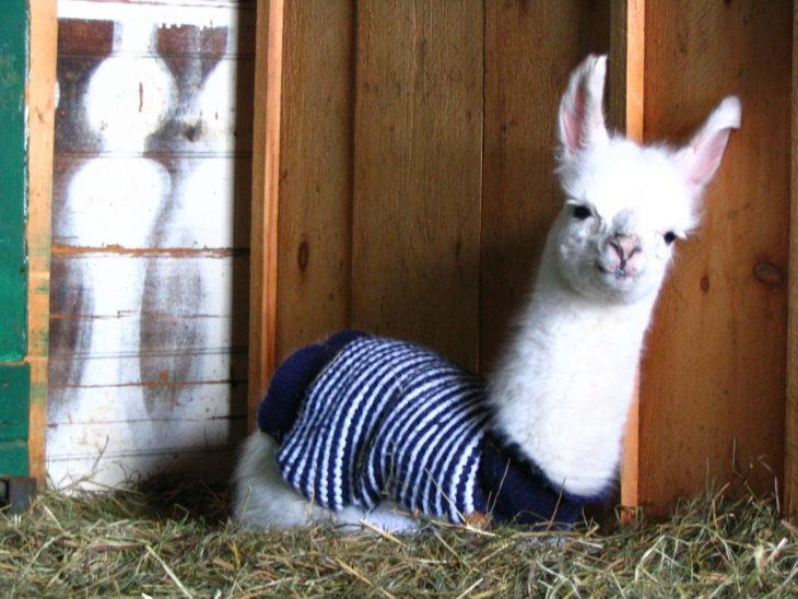 Llama con suéter