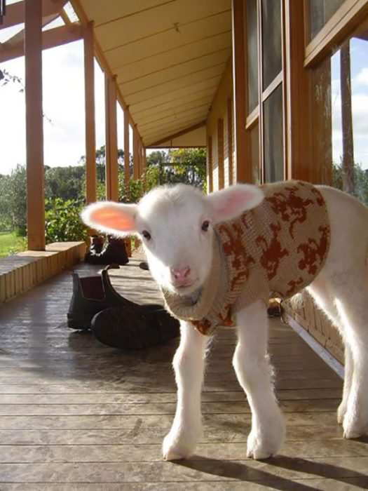 Becerro con suéter