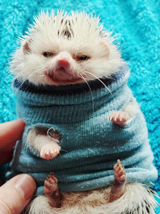 Erizo con suéter