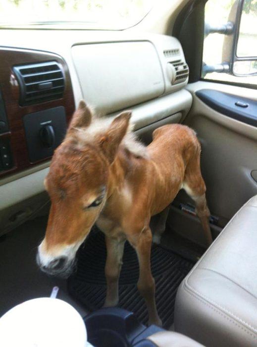 Un caballo miniatura en un carro