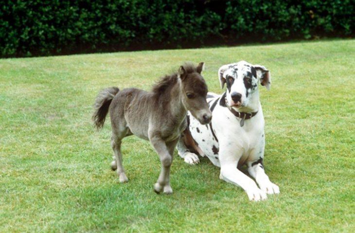 Caballo miniatura junto a un gran perro