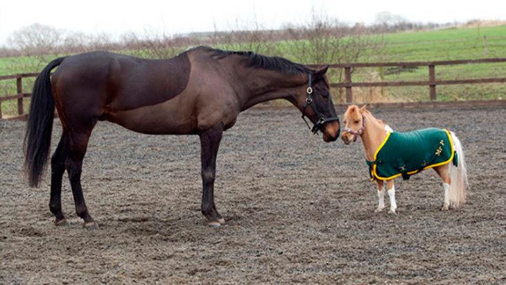 Caballo miniatura junto a un caballo normal