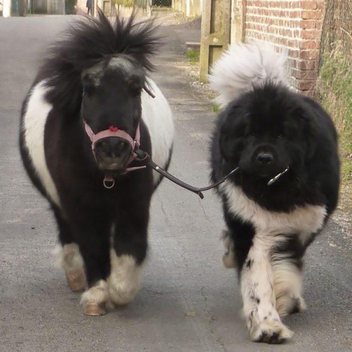 Un perro paseando a un caballo miniatura