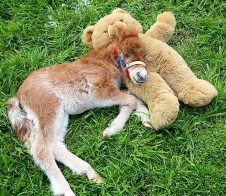 Un caballo miniatura junto a su oso de peluche