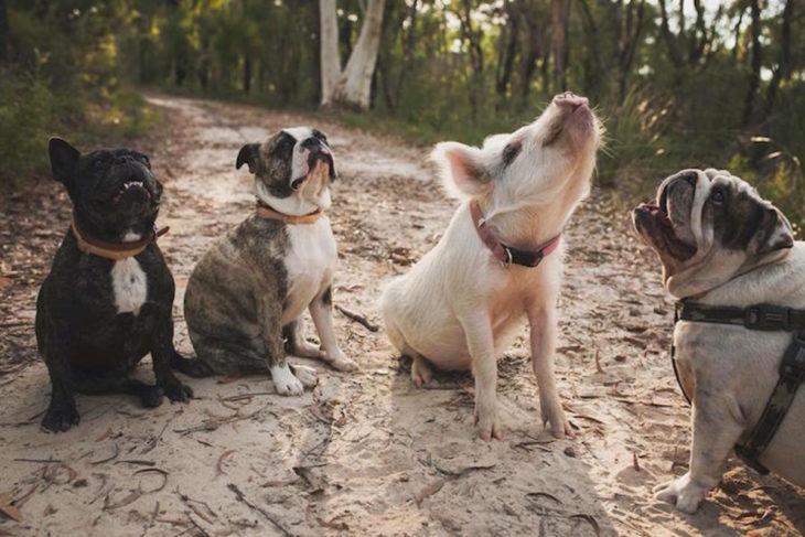 Un cerdito y unos perritos ladrando