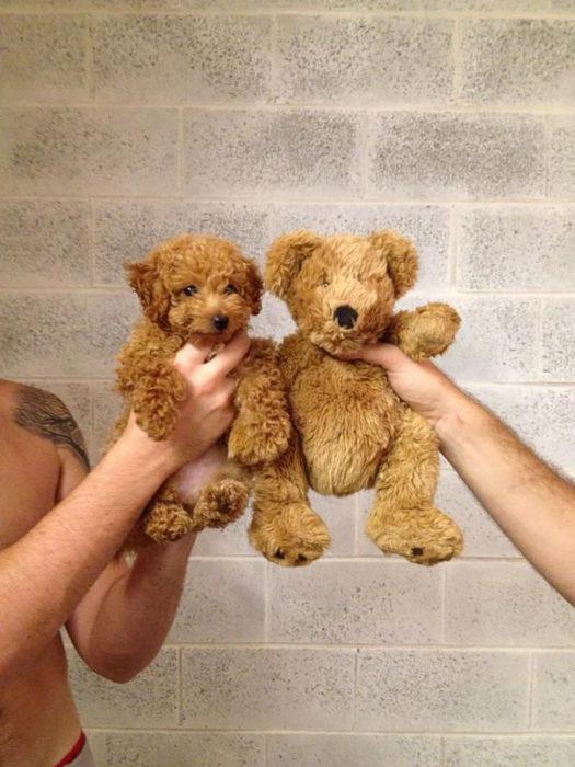 Cachorro parece oso de peluche