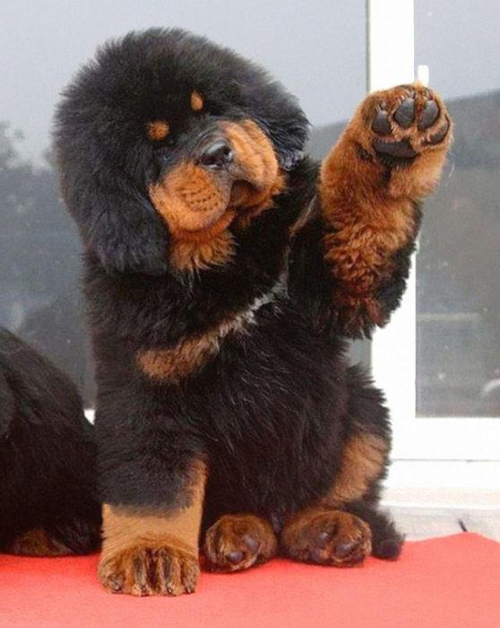 Cachorro grande café y negro