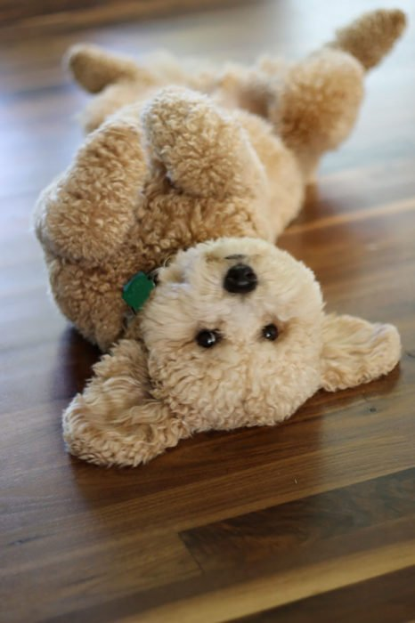 Cachorro peludo parece peluche