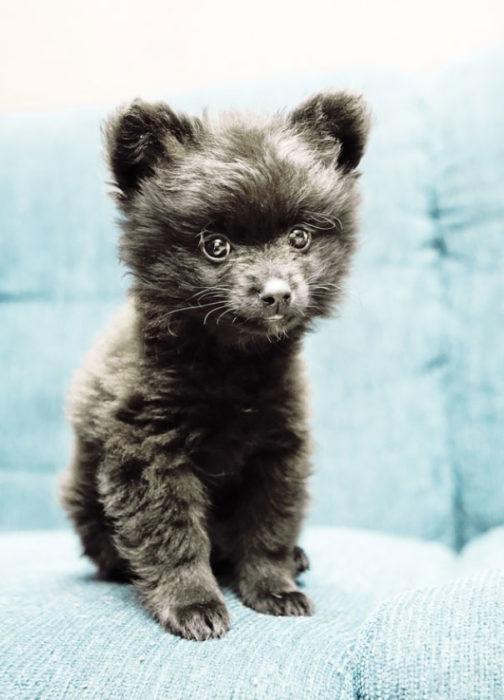 Cachorro negro pomeriano parece oso