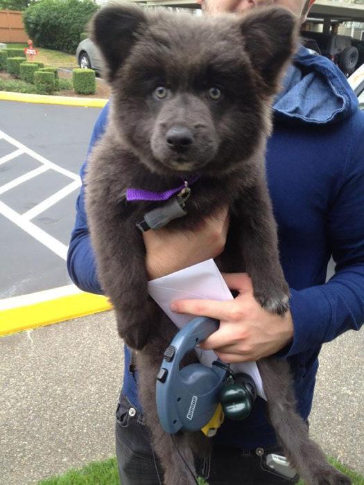 Cachorro café que parece oso