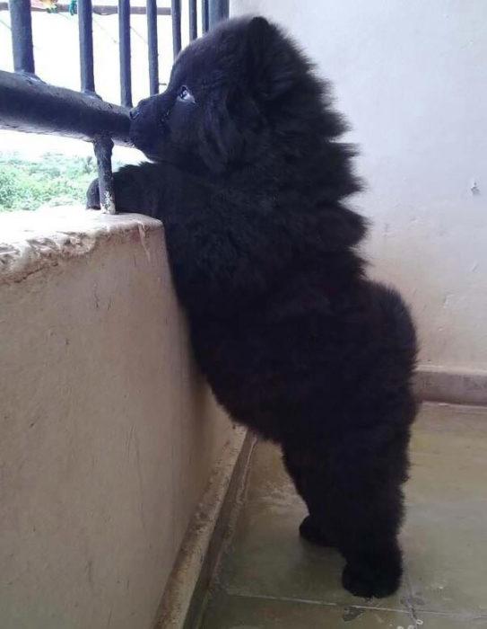 Cachorro negro asomada por la ventana