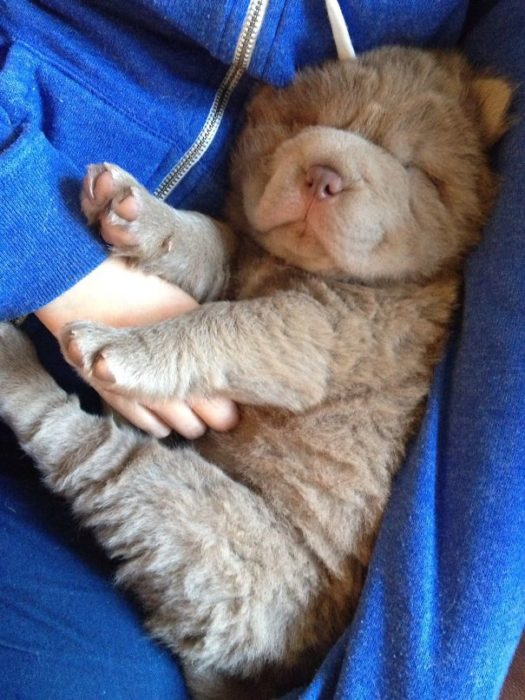 Cachorro café chiquito dormido