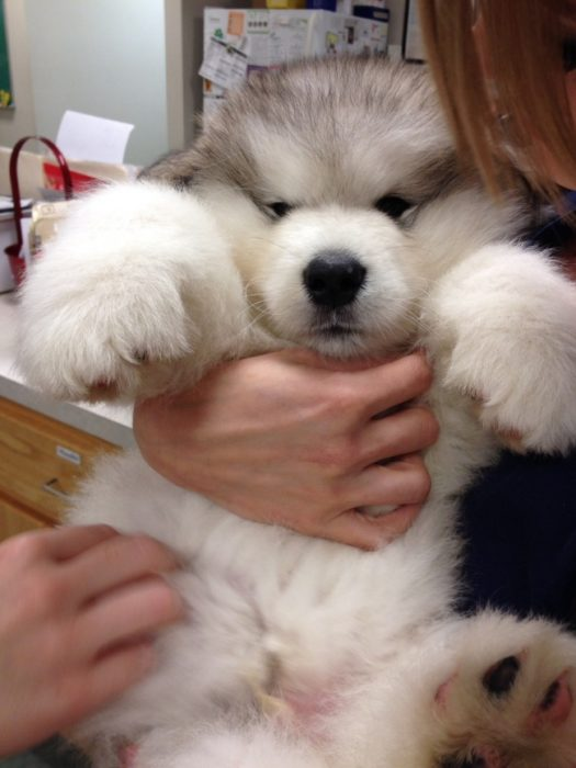 Cachorro tierno - husky cachorro