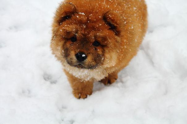 Cachorro rojizo en la nieve