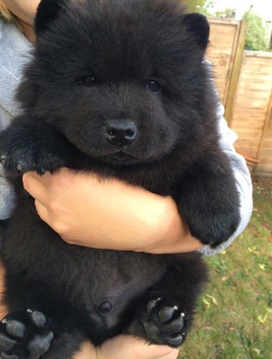 Cachorro negro gordito