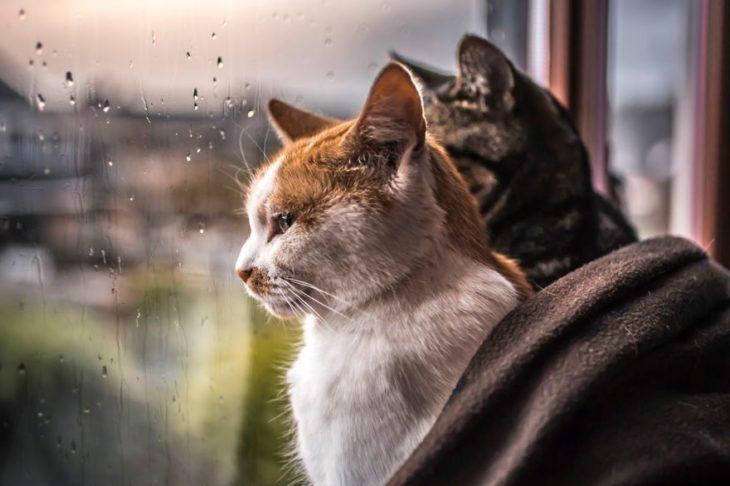 Dos gatos mirando por la ventana