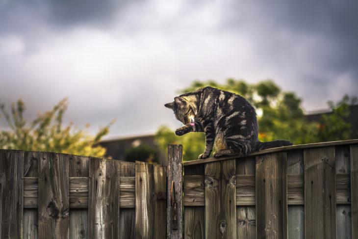 Un gato lamiéndose la pata