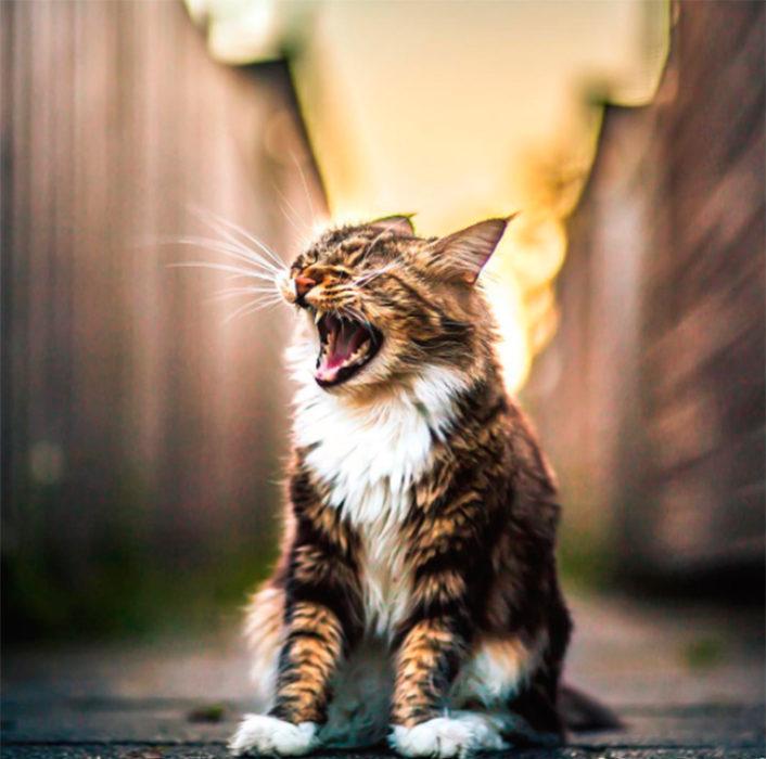 Gato maullando muy fuerte