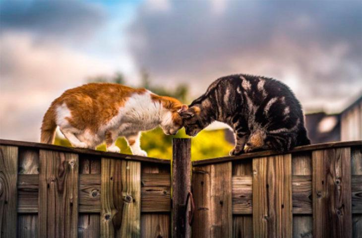 Dos gatos fotografiados juntos