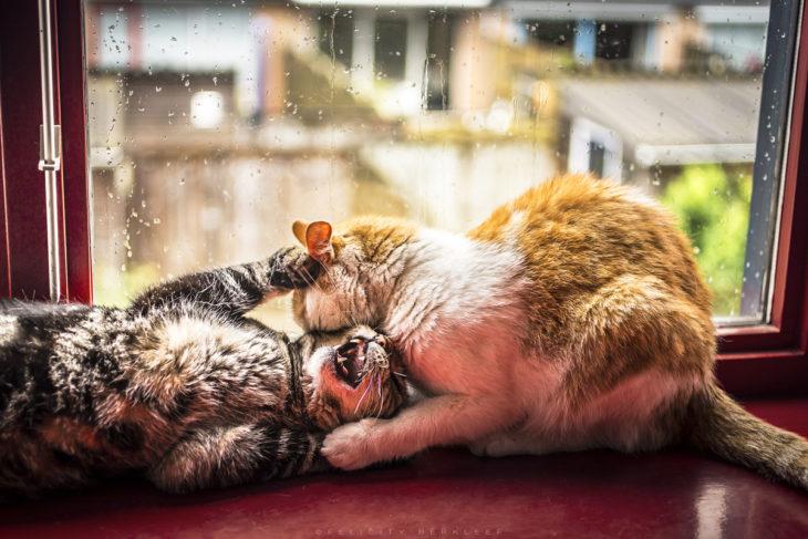 Dos gatos jugando en la ventana