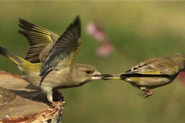 Foto pájaro halando a otro de las plumas