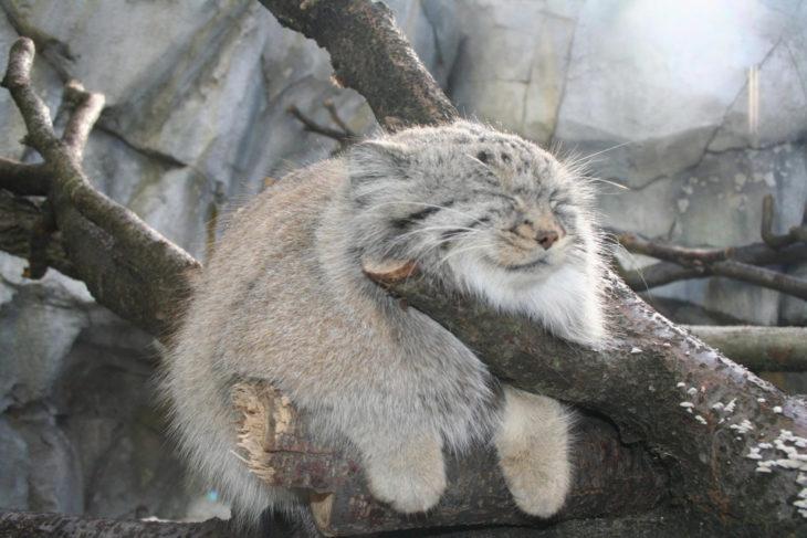 Gato de manul dormido en un tronco