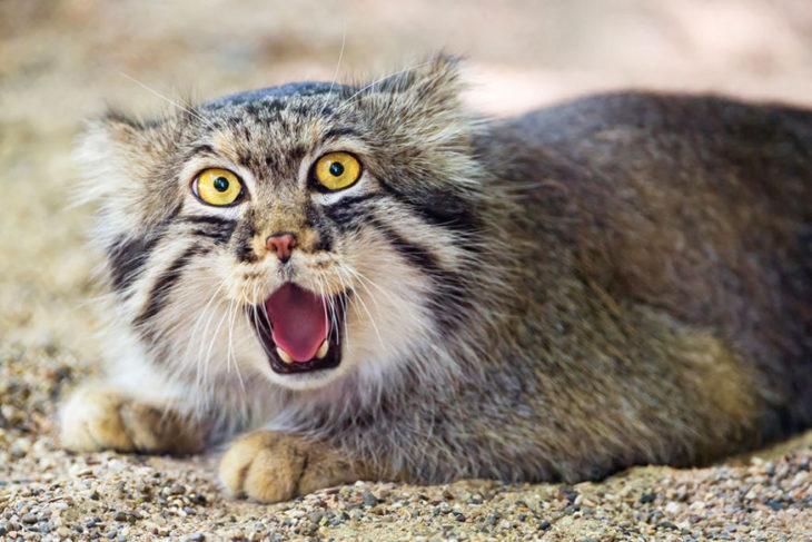Un gato de manul sorprendido