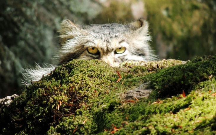 Gato de manul mirando detrás de un tronco