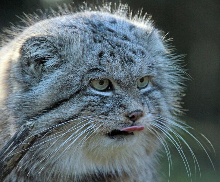 Un gato de manul sacando la lengua