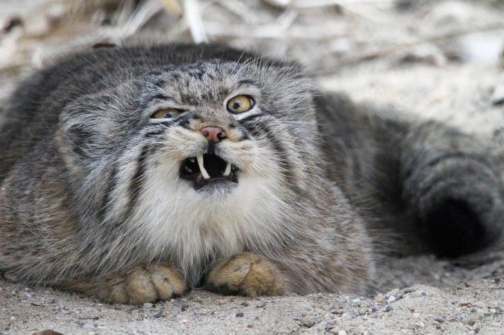 Gato de manul mostrando sus colmillos