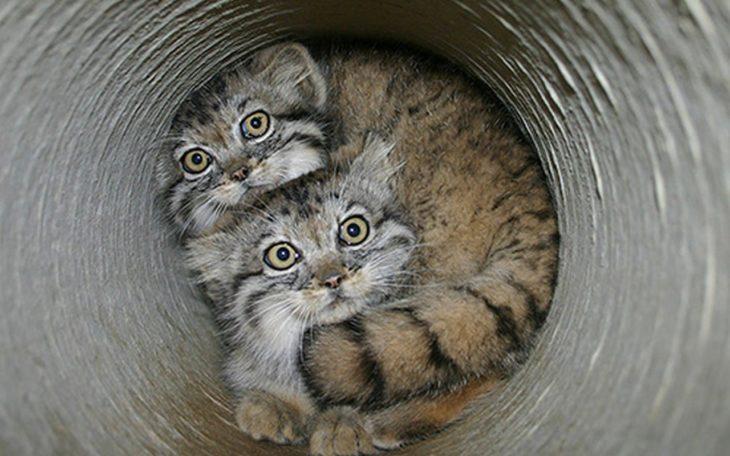 Gatitos de manul escondidos