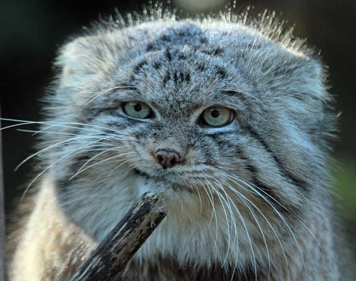 Gato de manul que parece que no está convencido