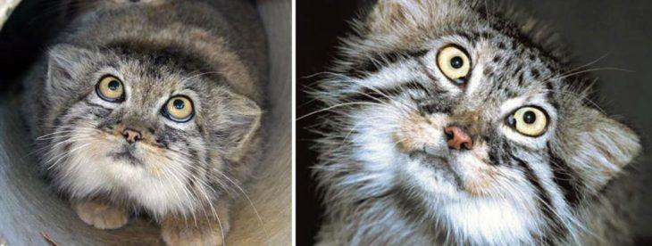 Gato de manul con ojos amarillos