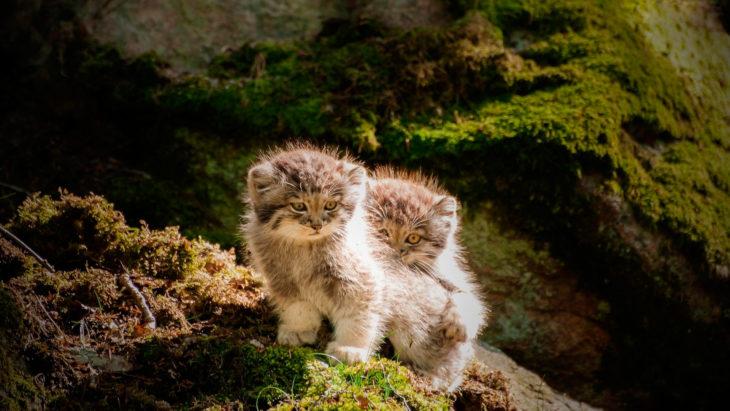 Dos gatitos de manul