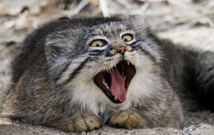 Un gato de manul muy alegre