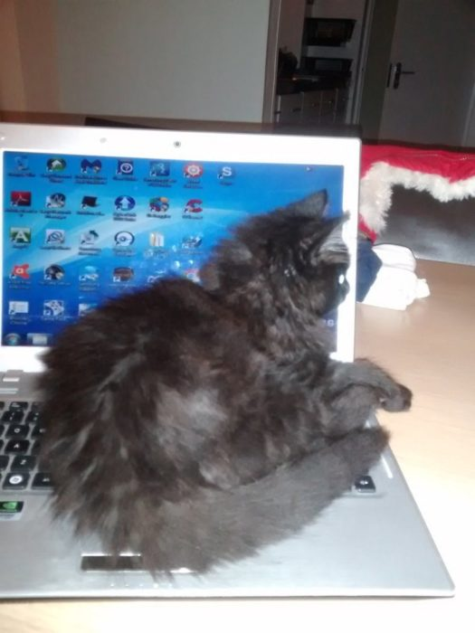 Gato descansando encima de una computadora portátil